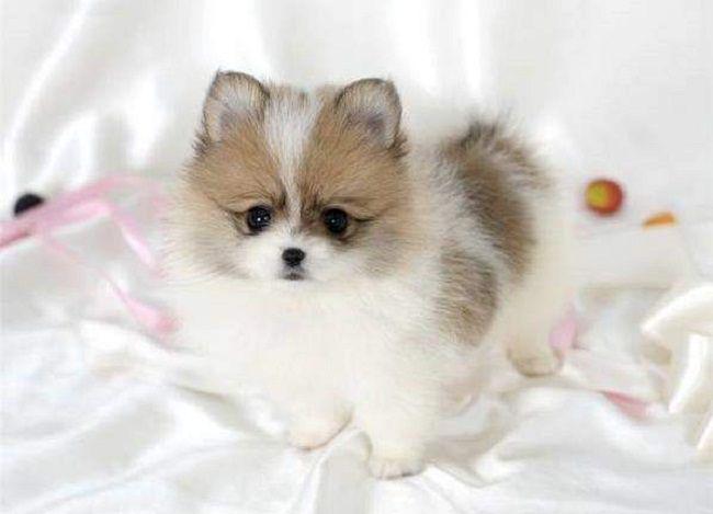 husky puppies pomeranian - photo #8