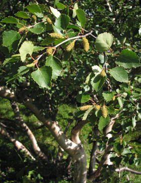 BJØRK - Betula sp.