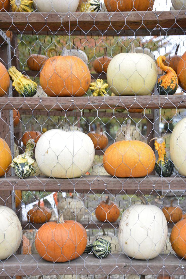Spooner Farms <3  #fall #pumpkinpatch #autumn #pumpkins #pattern #photography