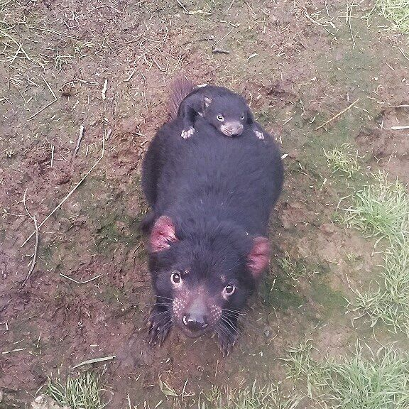 A tasmanian devil mama at the Tasmania Zoo