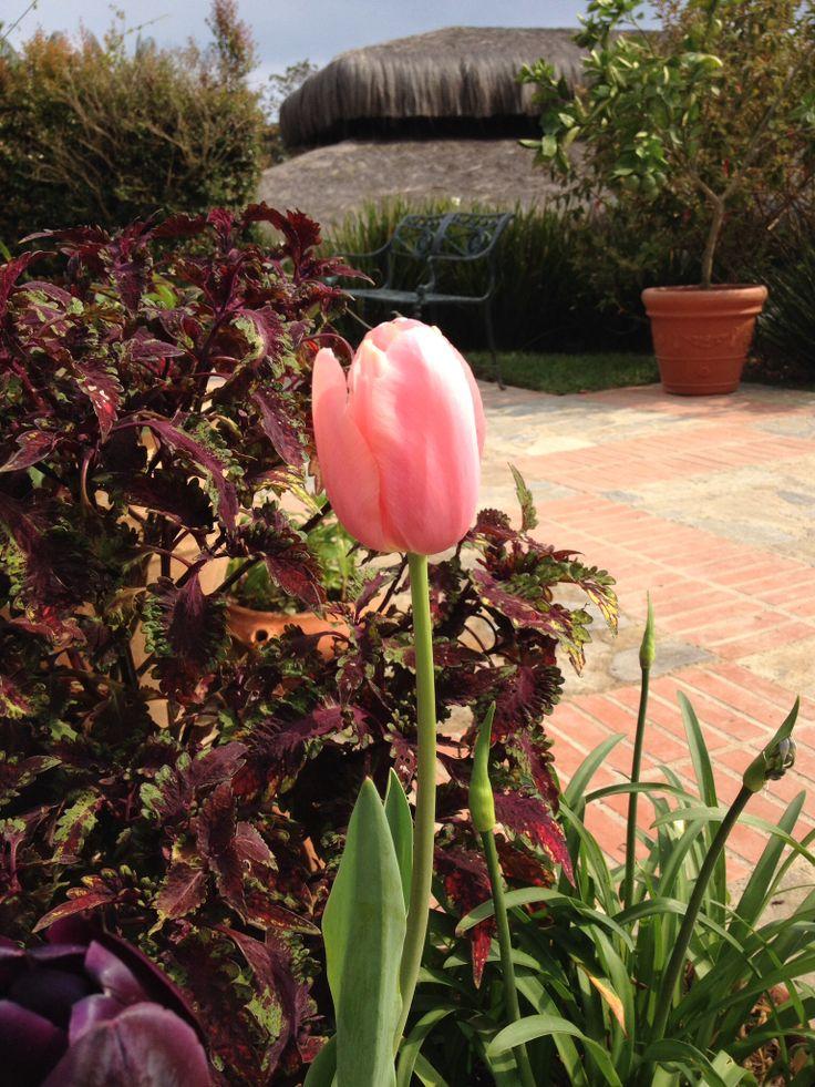 Tulipán rosado.