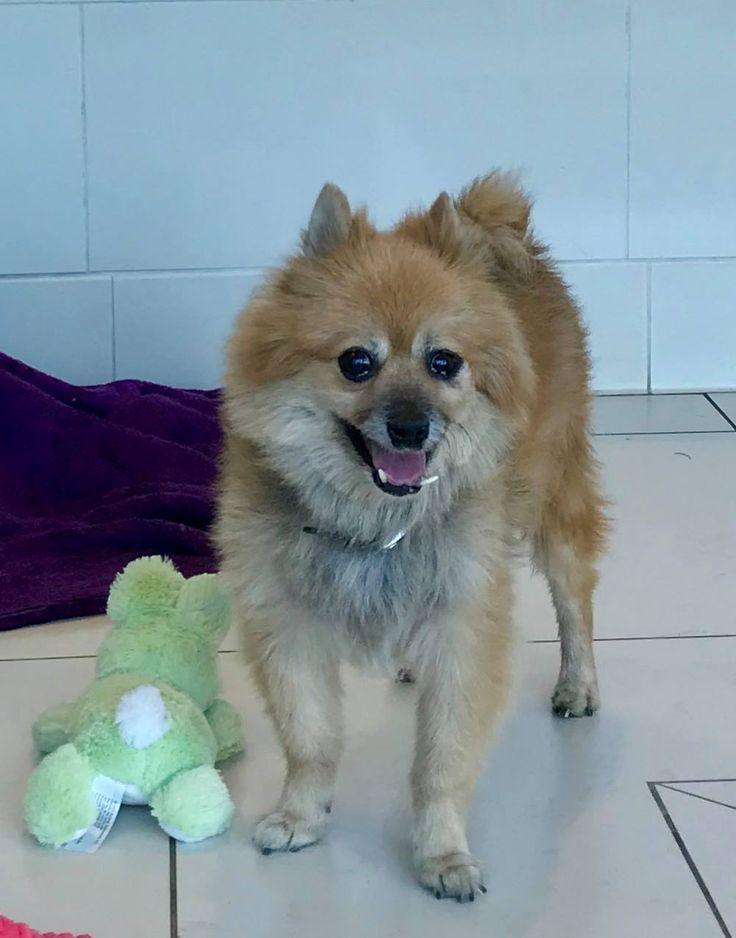 Pomeranian dog for Adoption in Irvine, CA. ADN-698244 on PuppyFinder.com Gender: Male. Age: Adult
