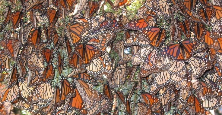 Monarch butterflies, Chincua Butterfly Sanctuary, Mexico | Surround yourself in the millions of butterflies that migrate from North America