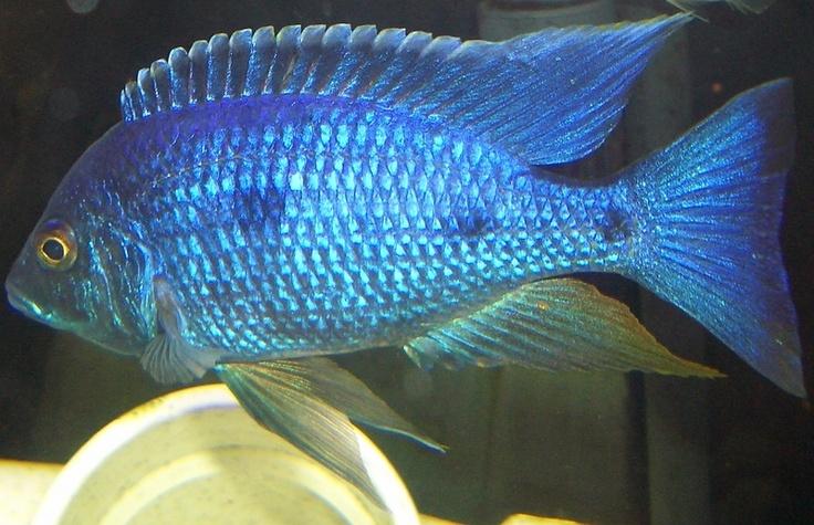 23 best aquarium fish images on pinterest exotic fish for Pretty freshwater fish