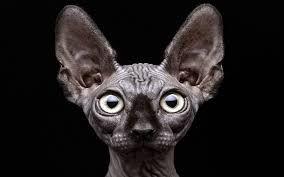 SPHYNX kitten - Google Search