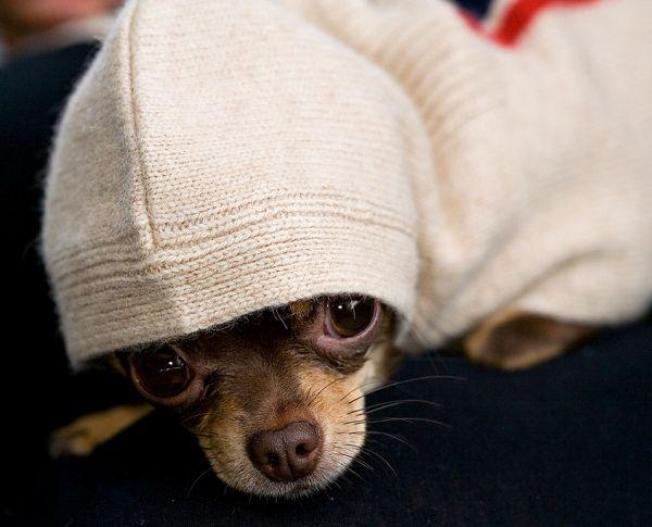 Chihuahua rockin a hoodie...ohmygosh it's max