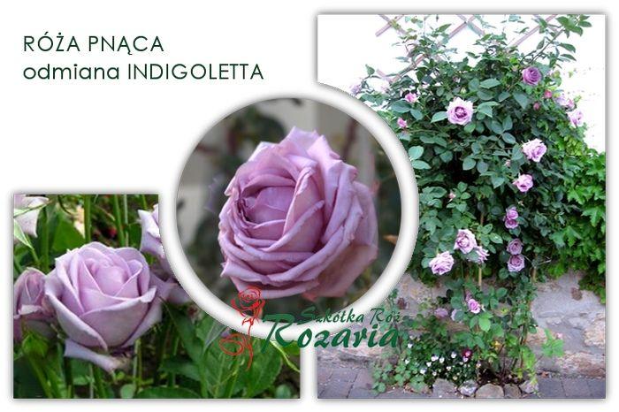 Roze Pnace Indigoletta Stanowisko Polcieniste Plants Garden Vegetables