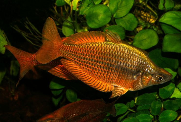 Melanotaenia - Australian rainbow fish by Slobodan  Lazarevic - Photo 180124971 / 500px