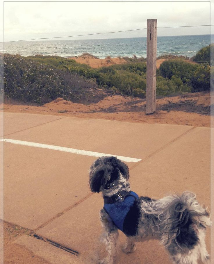 Dusk beach walk xxx #destinationwarrnambool #warrnambooldogs #dogs3280 #loveyourollo #maltiselove #dogwalk #beach #dogbeach #love3280 #puppylove #sendadogphoto #cutepuppy #adventureswithdogs by ovphoto33