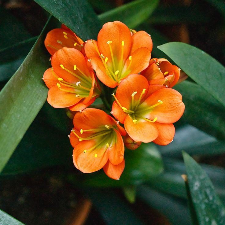 Clivia miniata, Twilight Bronze x Tropical Bronze.  Colorado Clivia's plant number 2196A.
