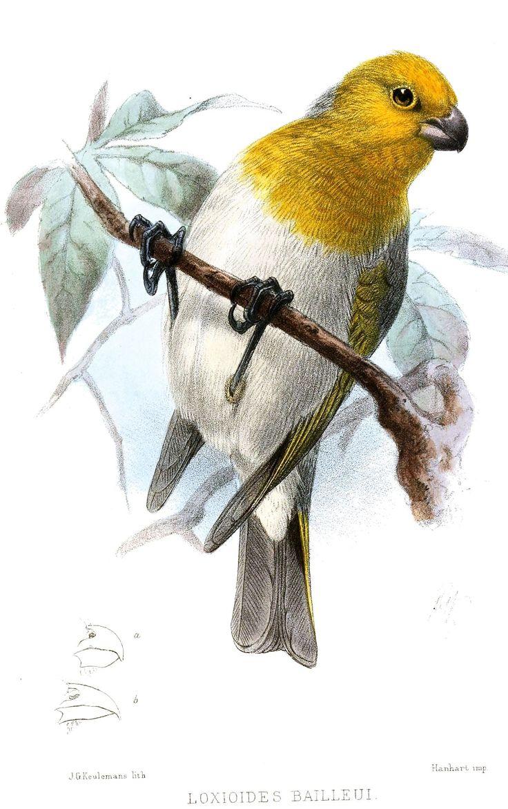 Palila. in 2020 Birds, Extinct birds, Animals