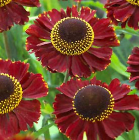 "Ruby Tuesday Sneezeweed   (Helenium ""Ruby Tuesday"")"