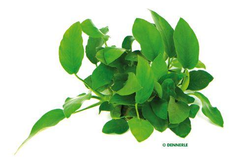 Anubias barteri, qui in varietà nana, è una delle piante da acquario più amate!