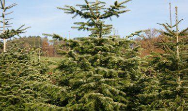 Weihnachtsbaum mieten, Herkunft EU