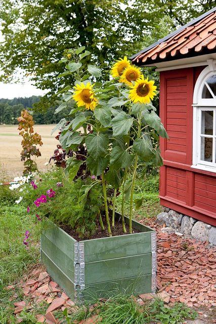 Sun flowers in raised bed gardening.