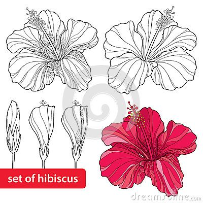 Set of Chinese Hibiscus or Hibiscus rosa-sinensis  on white background. Flower symbol of Hawaii