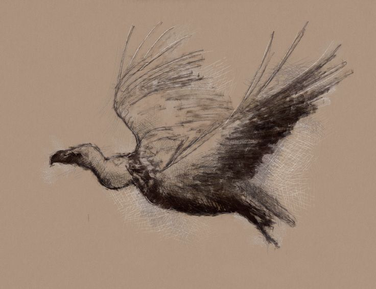 One of my sketch a day drawings Vulture flight #bird # ...