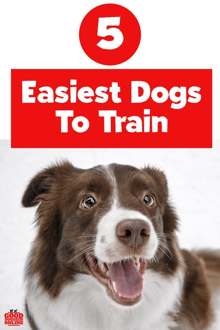 5 Easiest Dogs To Train For First Time Dog Moms Easiest Dogs To