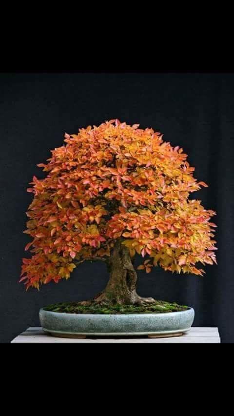 Autumn Bonsai                                                                                                                                                                                 Más