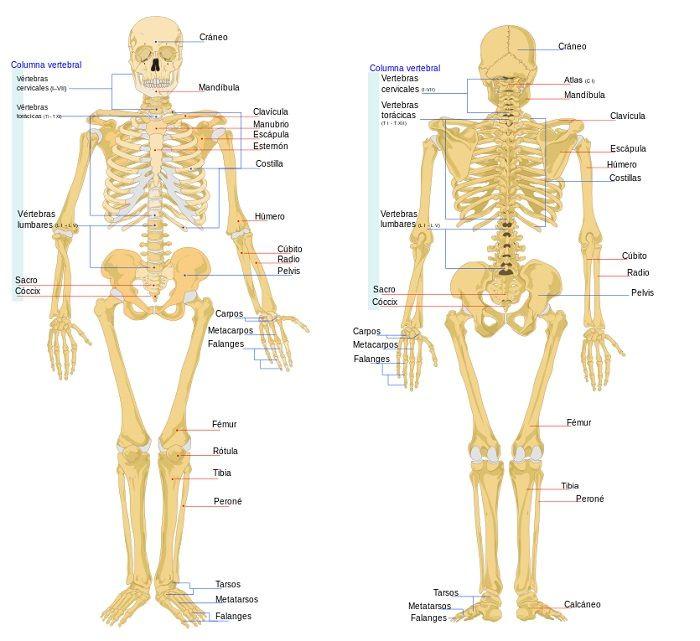 Famoso Anatomía Y Fisiología Humana Tarjetas De Memoria Flash Friso ...
