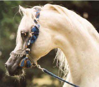 StraightEgyptians.com - Arabian Horse Online - Arabische Pferde Online