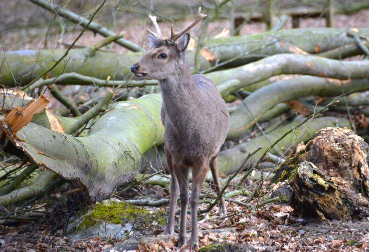 Sika deer (male) in Dyrehaven, Vejle.  #SikaDeer #SikaHjort #DyrehavenVejle #EuropeanWildlife #HenryRasmussen