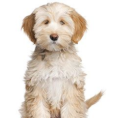 A cute Tibetan Terrier, I want one just like this!
