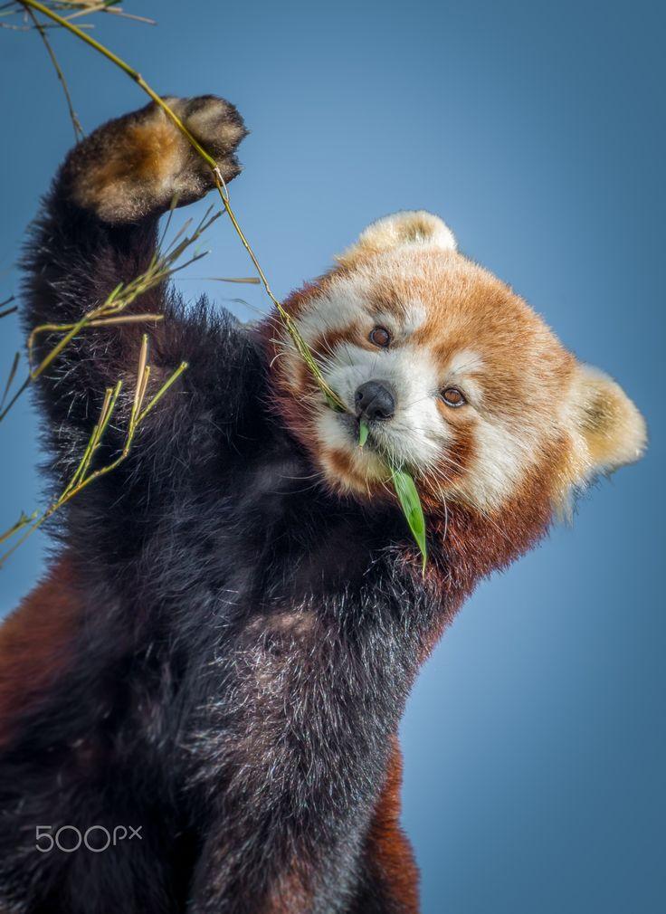 HELLO :-))))))  ........ Red Panda