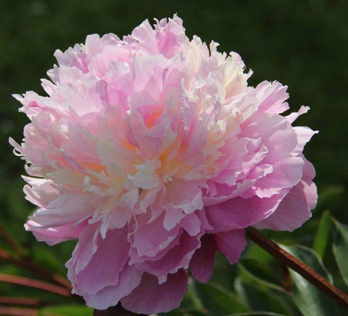 Paeonia 'Sorbet' (Herbaceous Peony)