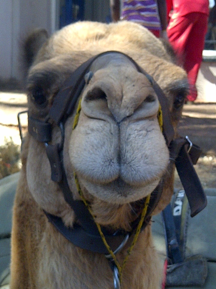 Camel at Irene Country Market