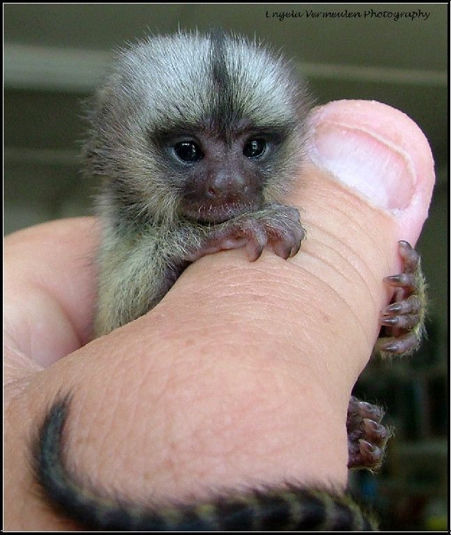 baby marmoset monkeys for sale