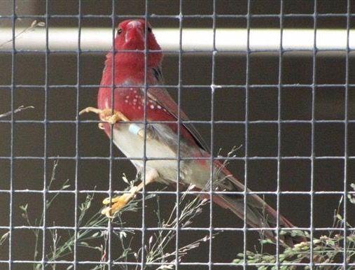 Crimson Finch (white-bellied male)