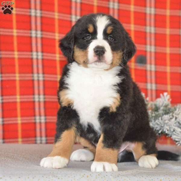 Patrick Bernese Mountain Dog Puppy For Sale In Ohio Bernese