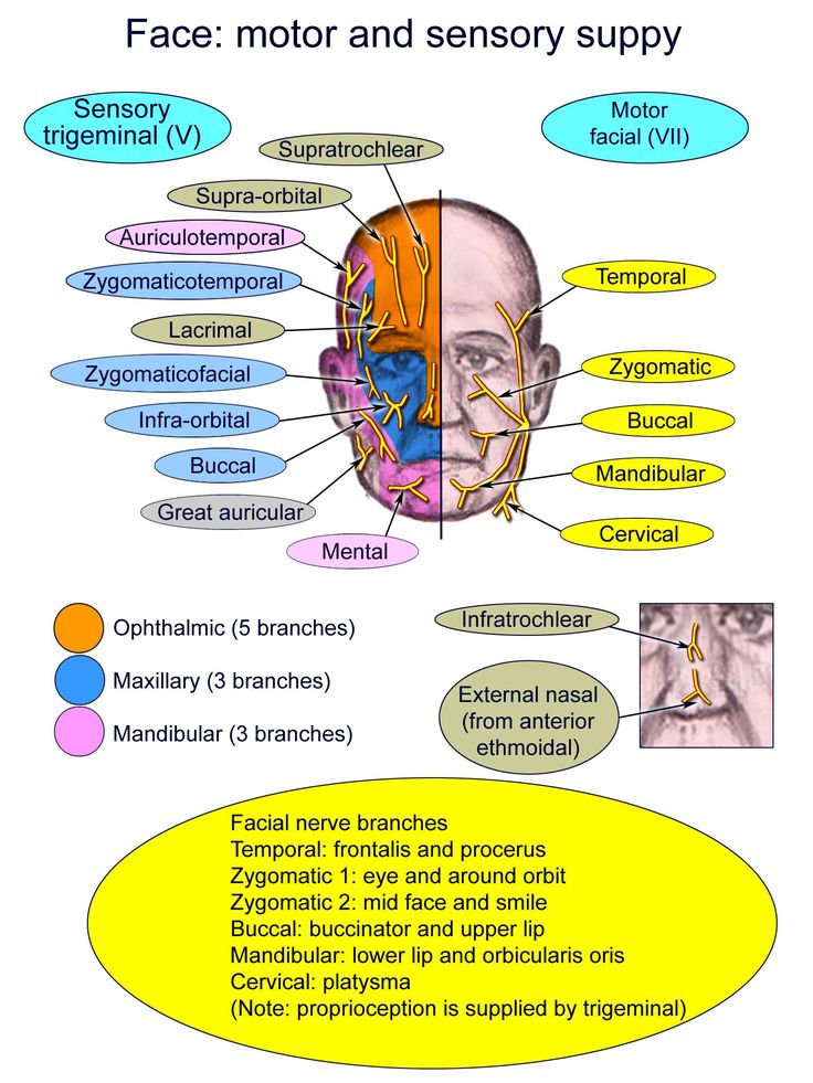 Diagram Of The Motor And Sensory Supply Of Face
