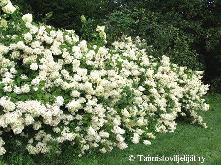 Hydrangea paniculata 'Grandiflora', voidaan varttaa pieneksi puuksi.