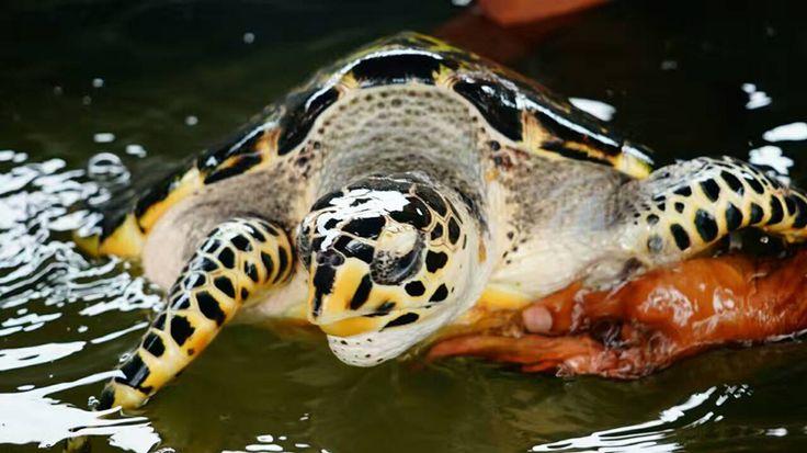 Le Sri Lanka compte  5 espèces de tortues marines en voie de disparation. Des refuges comme l'Induruwa Sea Turtle Project à Bentota multiplient les initiatives pour tenter de préserver ces belles créatures.