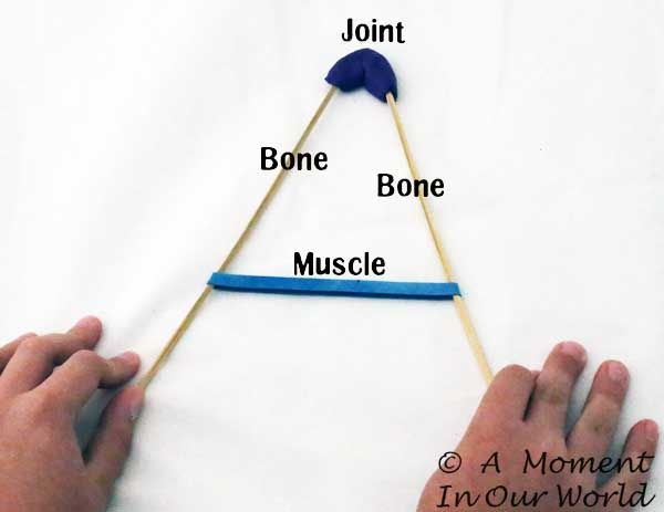 Human Body:Bones, Joints and Muscles - A Moment in our World