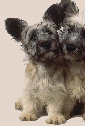 #Skye #Terrier #Puppy - click to learn more about this dog breed