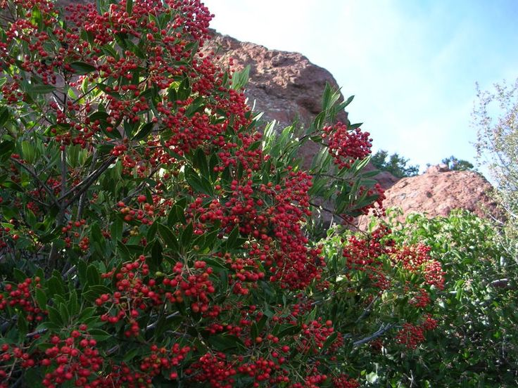 Toyon (a.k.a. Christmas Berry, California Holly). Of course ...