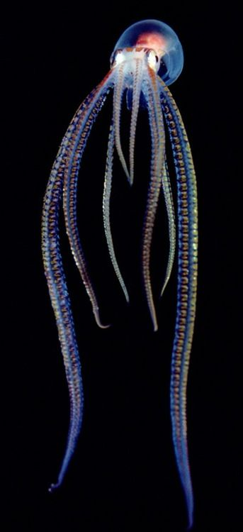 Pelagic Octopus ~ Photograph by Chris Newbert, Minden Pictures / A pelagic, or open-ocean, octopus gives off a neon glow in Hawaii. Most species of octopus have no internal skeleton, unlike other cephalopods. Def Planet defplanet.com