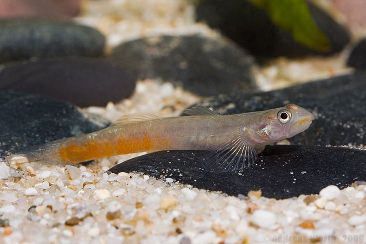 1559 best images about freshwater on pinterest cichlids for Freshwater goby fish