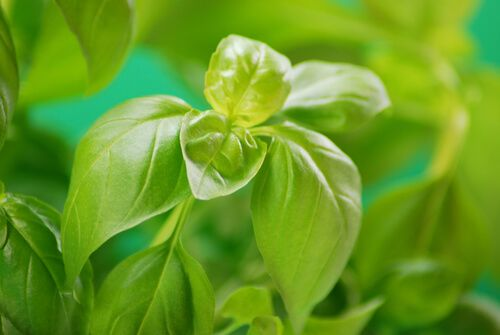 Basil, From Poison To Medicine - https://leafmother.com/blog/basil-from-poison-to-medicine/