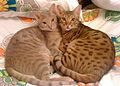 Ocicat - Wikipedia, the free encyclopedia.  Lavender Spotted Ocicat with Chocolate Spotted Ocicat.