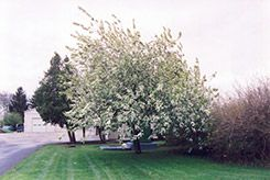 Click to view full-size photo of Commutata Mayday (Prunus padus 'var. commutata') at Cannor Nurseries