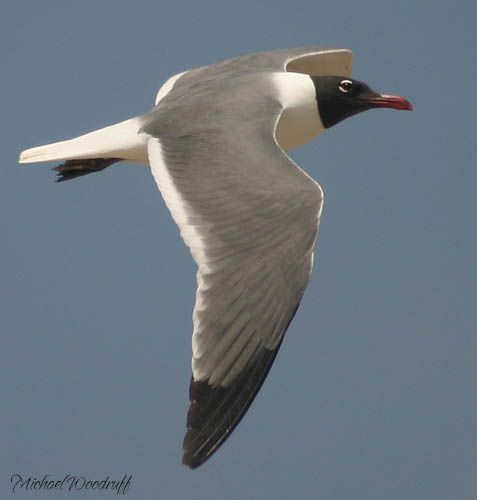 Laughing Gull  flying overhead