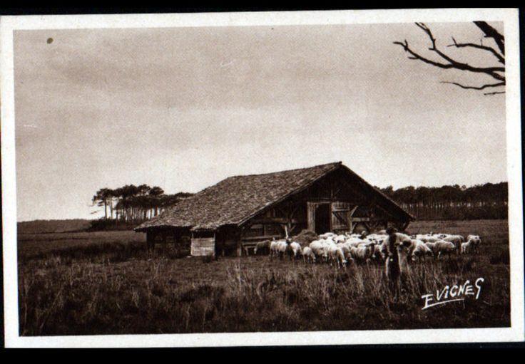Prés de CASTETS-des-LANDES (40) TRANSHUMANCE / BERGER avec MOUTONS & BERGERIE
