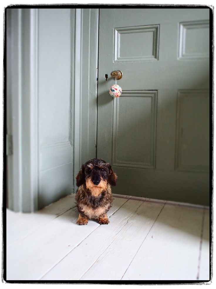 bauble and dachshund.  Not sure what this toy is doing up there hanging on the doorknob!  For him to jump up there to play with it would Not be good for his back (over the long term)!  Maybe it's a punishment for being mischievous?!  =[ #DoxieDarlin' #Doxie