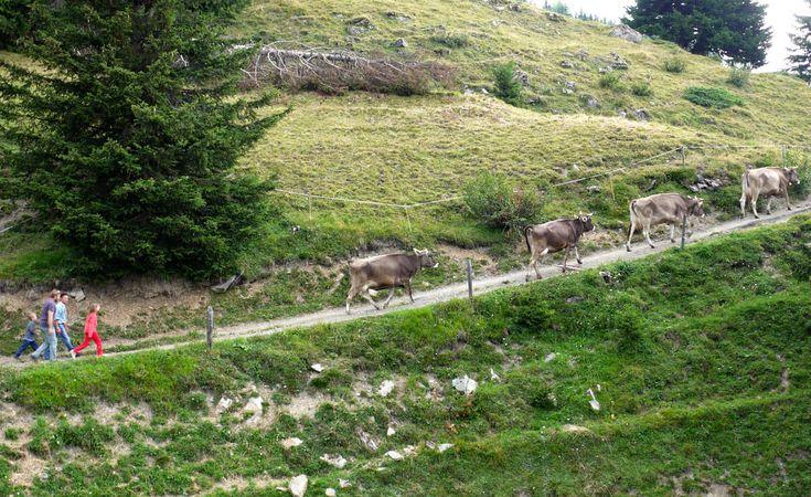 A cow parade in Lenzerheide, Switzerland