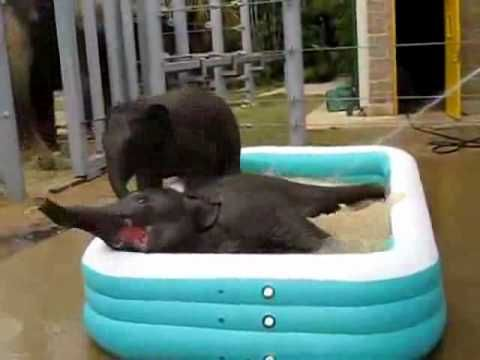 Oh. My. Goodness. A pool party.  For baby elephants.  A POOL PARTY FOR BABY ELEPHANTS!!!: Pool Parties, Animal Awww, Baby Elephants, Elephants Pools, Magnificent Elephants, My Life, Pools Parties Wmv, Houston Zoos, Pools Party'S Wmv