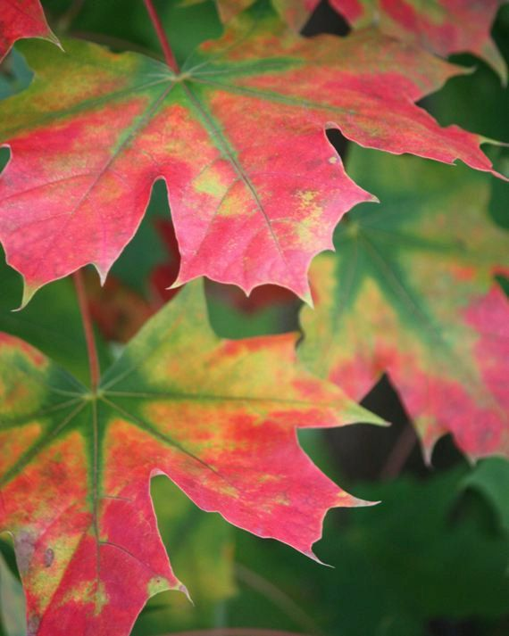 Splendor  8x10 Nature Photography  Autumn Leaves by FlandersField